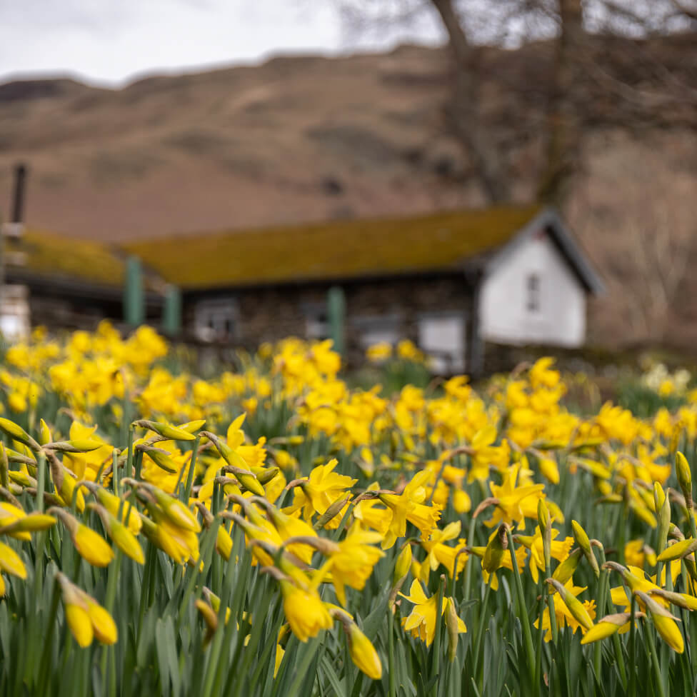 "A host of Golden Daffodils"" - Wordsworth image"